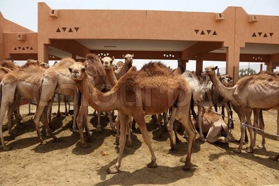Al Ain Camel Market abu dhabi